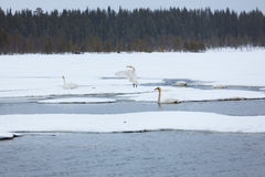 Swans on partially frozen lake Stock Photos