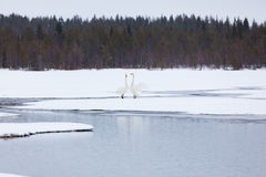 Swans on partially frozen lake Stock Photo