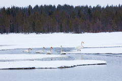 Swans on partially frozen lake Stock Image