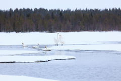 Swans on partially frozen lake Royalty Free Stock Images