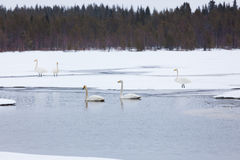 Swans on partially frozen lake Royalty Free Stock Photo