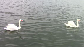 Swans stock footage