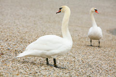 Swans on pebble shore Stock Image
