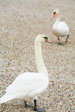 Swans on pebble Royalty Free Stock Photography