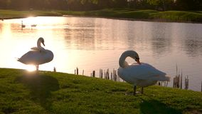 Swans pecking feathers on a green lawn. White swans on meadow at sunset. Against the background of a lake stock image