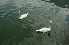 Swans Stock Photography