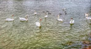 Swans. Picture of swans and ducks with filters on Marne river Stock Photos