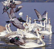 Swans and pigeon Royalty Free Stock Image