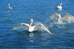 Swans play Royalty Free Stock Photography