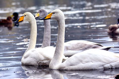 Swans playing Stock Photography