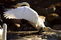 Swans playing Royalty Free Stock Photos