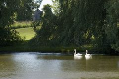 Swans on pond. In farm field Stock Images