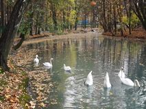 Swans on a pond in a city park. stock video footage