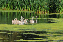 Swans on a pond Royalty Free Stock Photos
