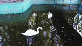 Swans in pond stock video