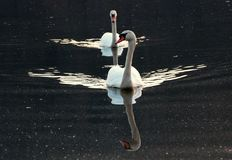 Swans on a pond Stock Photo