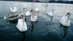 Swans in the pond Royalty Free Stock Images