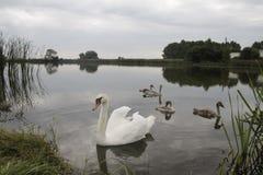 Swans on a pond. Stock Photos