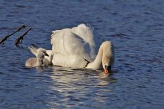 Swans on the pond looking for some plants to eat stock image