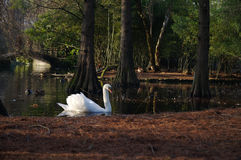 Swans in a pond Royalty Free Stock Photography
