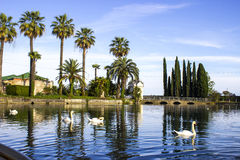 Swans on the pond Royalty Free Stock Images
