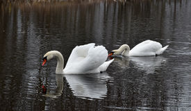 Swans on the pond Stock Photography