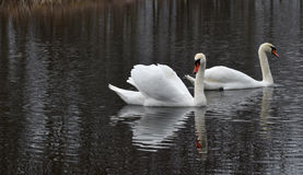 Swans on the pond Stock Images