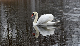 Swans on the pond Royalty Free Stock Photo