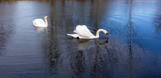 Swans on the pond Royalty Free Stock Image