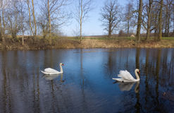 Swans on the pond Royalty Free Stock Photography