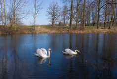 Swans on the pond Stock Photo