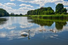 Swans on the pond Royalty Free Stock Photos