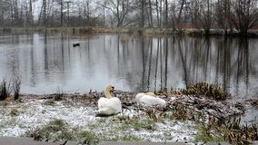 Swans on a pond stock video footage
