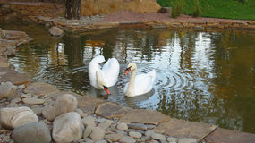 swans in a pond Royalty Free Stock Images