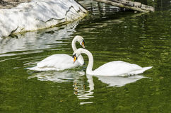 Swans on pond Stock Image