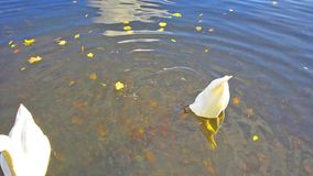 Swans in the pond. White swans on the water pond stock footage