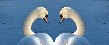 Swans portrait Stock Images