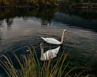 Swans in the pound Stock Photo