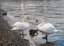 swans praag De Vltava-Rivier royalty-vrije stock fotografie