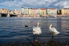 swans praag Tsjechische Republiek royalty-vrije stock afbeelding