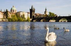 Swans in Prague royalty free stock photos