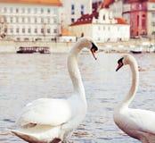 Swans in Prague . Royalty Free Stock Image