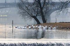 Swans of Prague Royalty Free Stock Photos