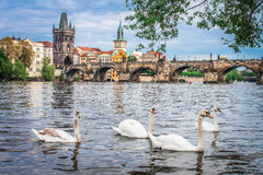 Swans in Prague Stock Images
