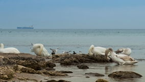 Swans preening on the coast Royalty Free Stock Image