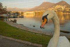 Swans on promenade,  Lugano. Swans on the lakeside promenade, at sunset, in Lugano, Ticino, Switzerland Stock Photos