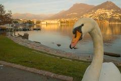 Swans on promenade,  Lugano Stock Photos