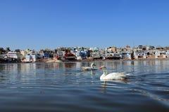Swans on Pushkar Lake Royalty Free Stock Photography