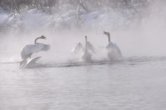 Swans quarrel lake misty winter (Cygnus Cygnus) Stock Photos