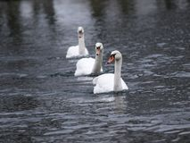 Swans race Royalty Free Stock Photography
